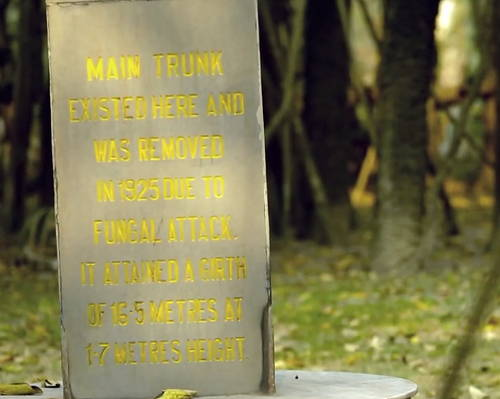 Banyan Tree_main trunk