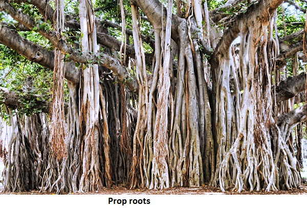 Banyan Tree prop roots