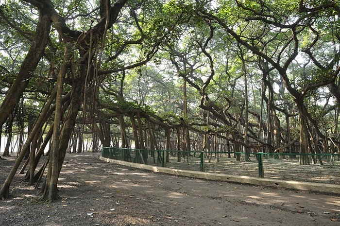 great banyan tree road